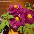 牡丹の花2
