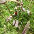 てんとう虫1