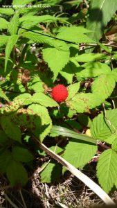 庭に植えた覚えない春の植物-野イチゴ2